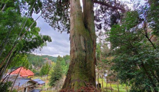 長岡市指定天然記念物【阿弥陀瀬の大杉】を見てきました