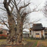 長岡市の巨木【古正寺の大欅】を見てきました