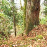 見附市【太田神社の大杉】を見てきました