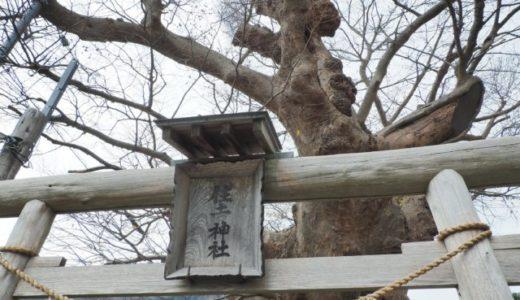 弥彦 住吉神社の御神木【蛸ケヤキ】を見てきました