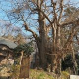 弥彦山「西生寺の大銀杏」を見てきました