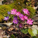 花の三ノ峠山へ花見散歩