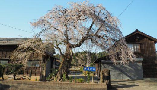 柏崎市「駒繋の桜」を見てきました