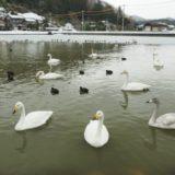 柏崎市『長嶺大池』に白鳥を見てきました