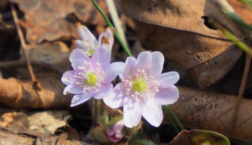 妙法寺の春「雪割草」